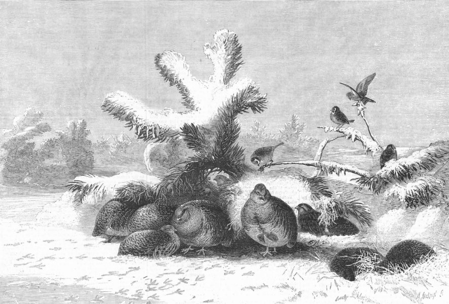 Associate Product BIRDS. The covey, antique print, 1857
