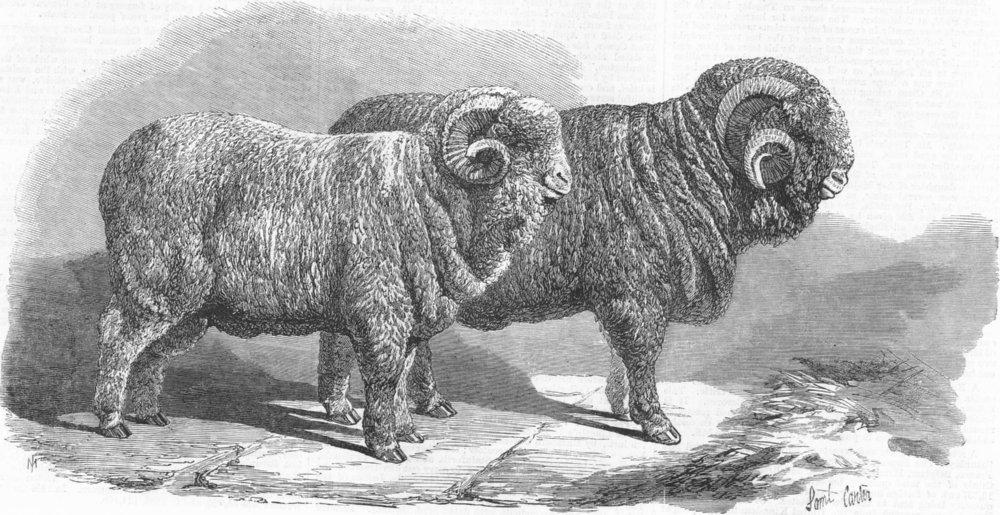 Associate Product POLAND. Pure Saxon Merino Rams, exhibited, Wrocław, antique print, 1869