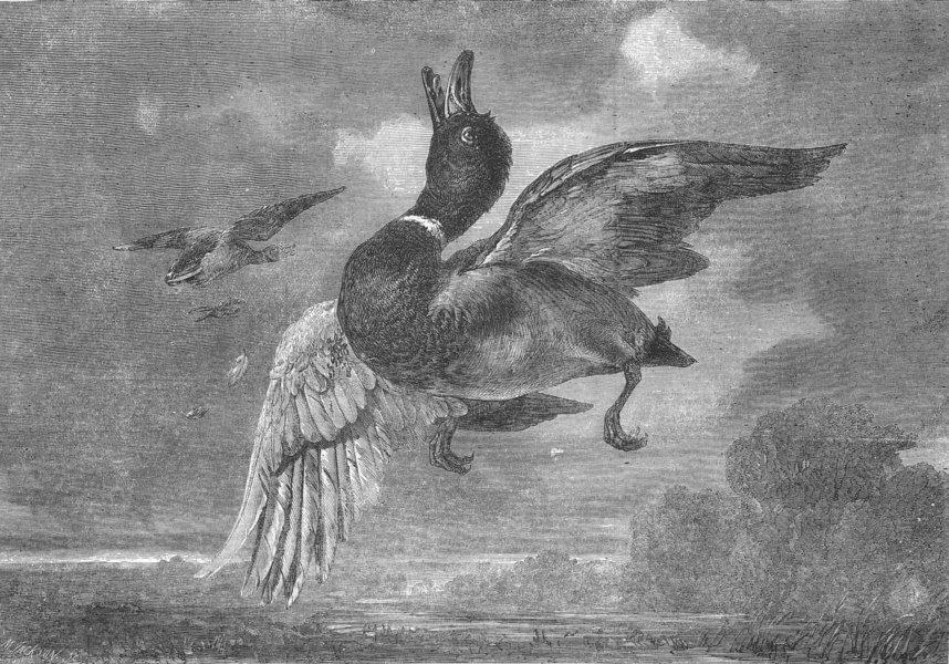 Associate Product BIRDS. The stricken Mallard, antique print, 1856