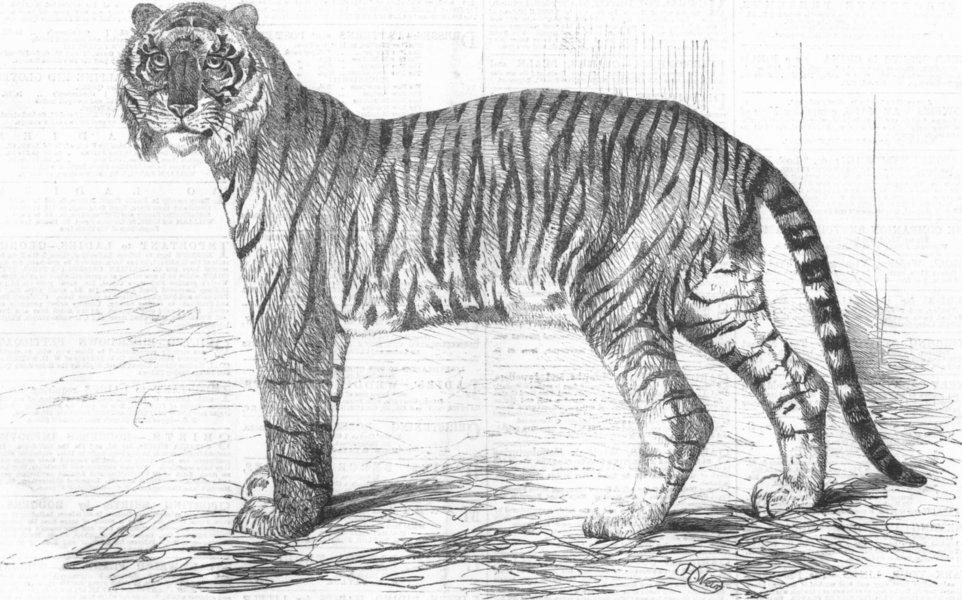 Associate Product INDIA. Junglar fighting tiger of King Awadh, antique print, 1859