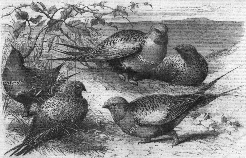 Associate Product DEVON. Pallas sand-grouse(Syrrhaptes Paradoxus), antique print, 1861