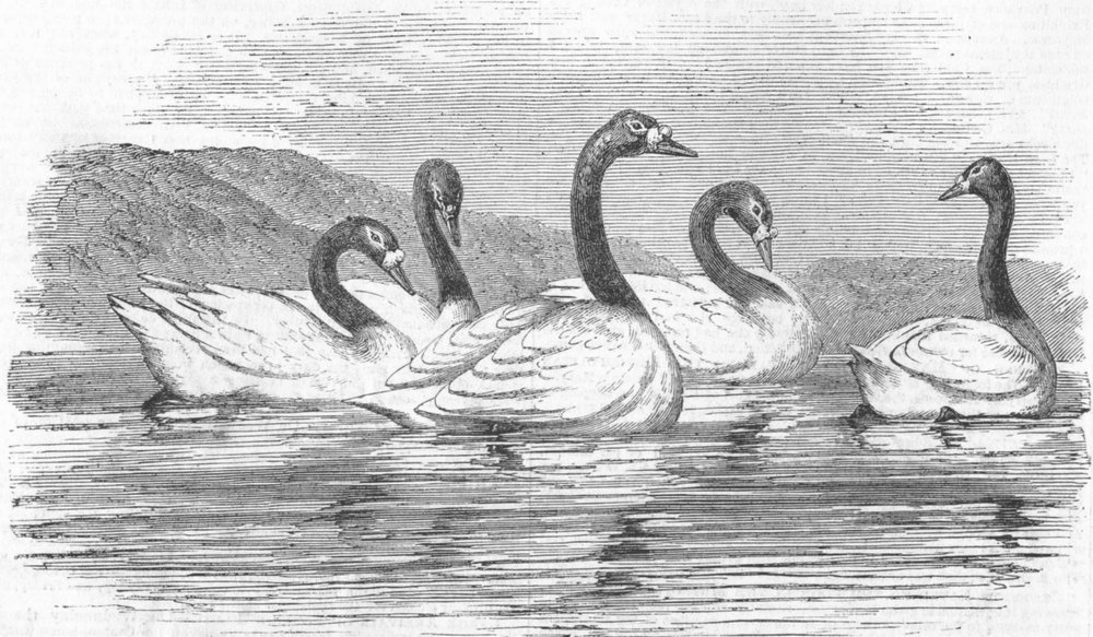 Associate Product LANCS. Black-necked swans, Knowsley Aviary, antique print, 1851