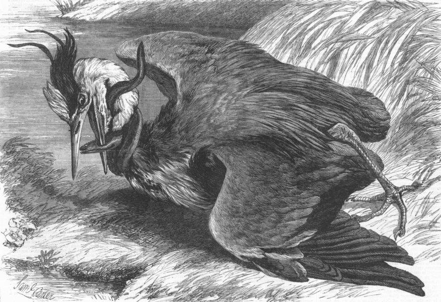 Associate Product FISH. Fight between Heron & Eel, antique print, 1869