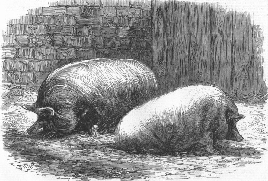 Associate Product PIGS. Poissy. Prize White Yorks & Sussex pig, antique print, 1862