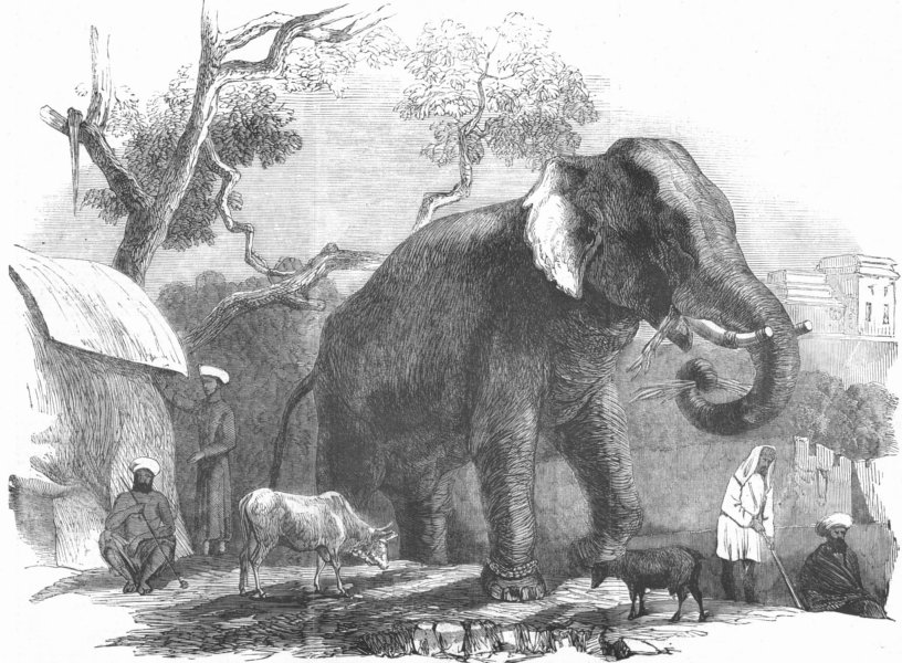 Associate Product INDIA. Elephant owned by Rajah of Bharatpur, antique print, 1857