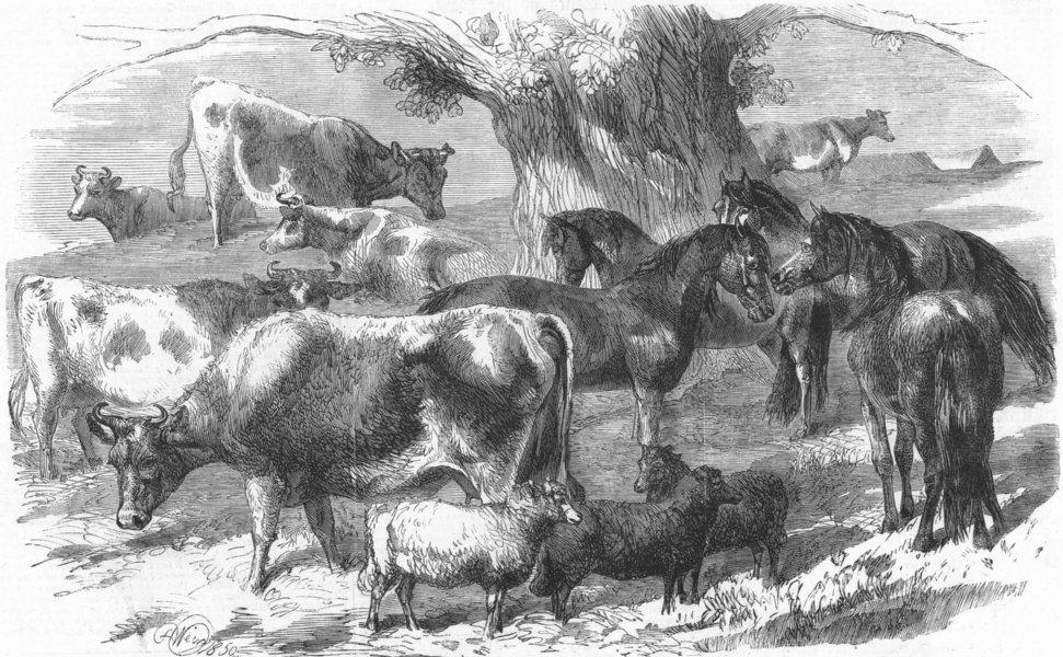 Associate Product ANIMALS. Dwarf African Ponies, Bretonne cows & sheep, antique print, 1860
