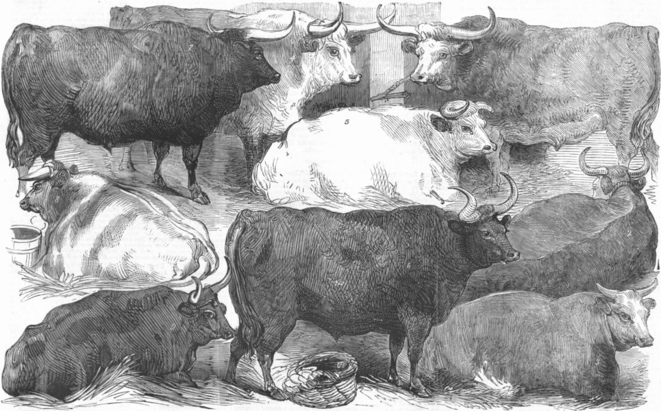 Associate Product COWS. Hereford, Devon, Shorthorn, Cow, Ox, antique print, 1856