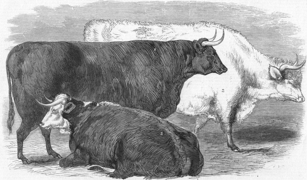 Associate Product LONDON. Smithfield-Prize cows, antique print, 1858