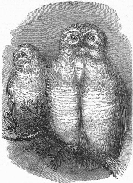 Associate Product LONDON. Snowy owls, zoo, antique print, 1844