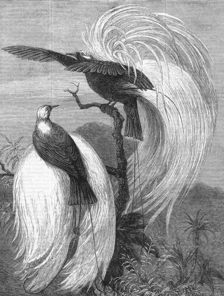 Associate Product LONDON. Birds of Paradise at the zoo, antique print, 1878