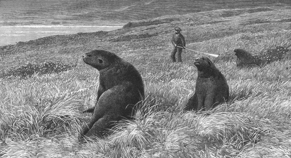Associate Product INDIA. Sea lions, Ross Island, Auckland Islands, antique print, 1889
