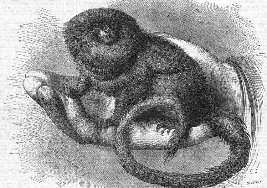 Associate Product LONDON. Pigmy Marmozet(life)zoo, antique print, 1877