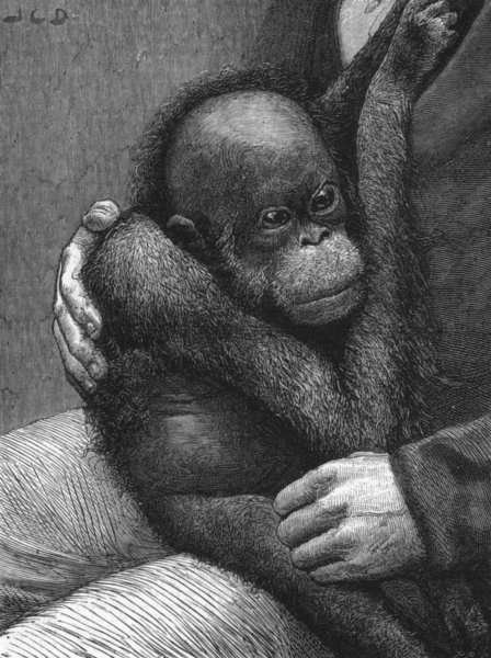 Associate Product BABIES. A baby orang-outang, antique print, 1881