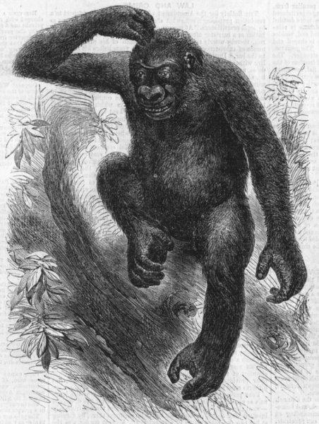 Associate Product PRIMATES. The gorilla, antique print, 1859