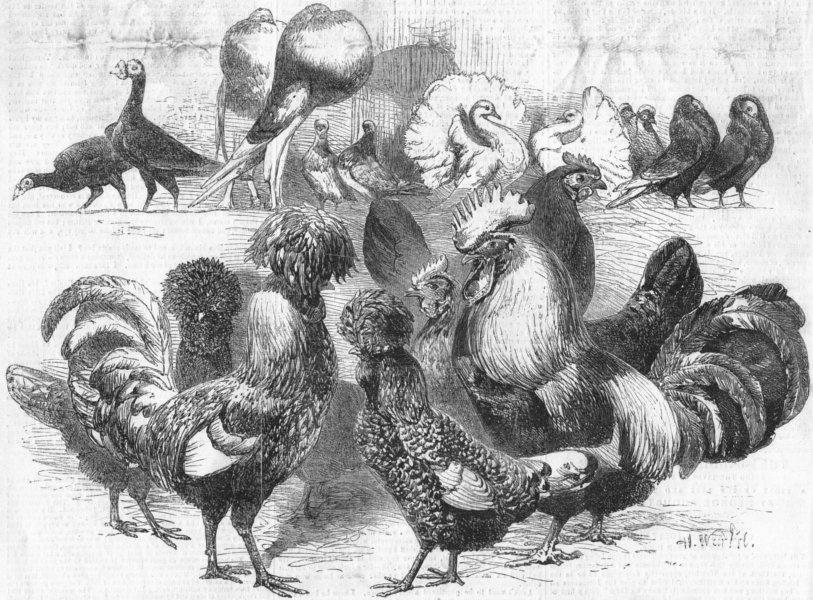 Associate Product POULTRY. Pigeons & fowls. Silver; Polish, Dorkings, antique print, 1857