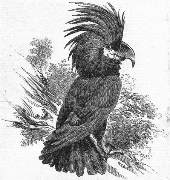 Associate Product BIRDS. New bird-The Goliah Aratoo, antique print, 1845