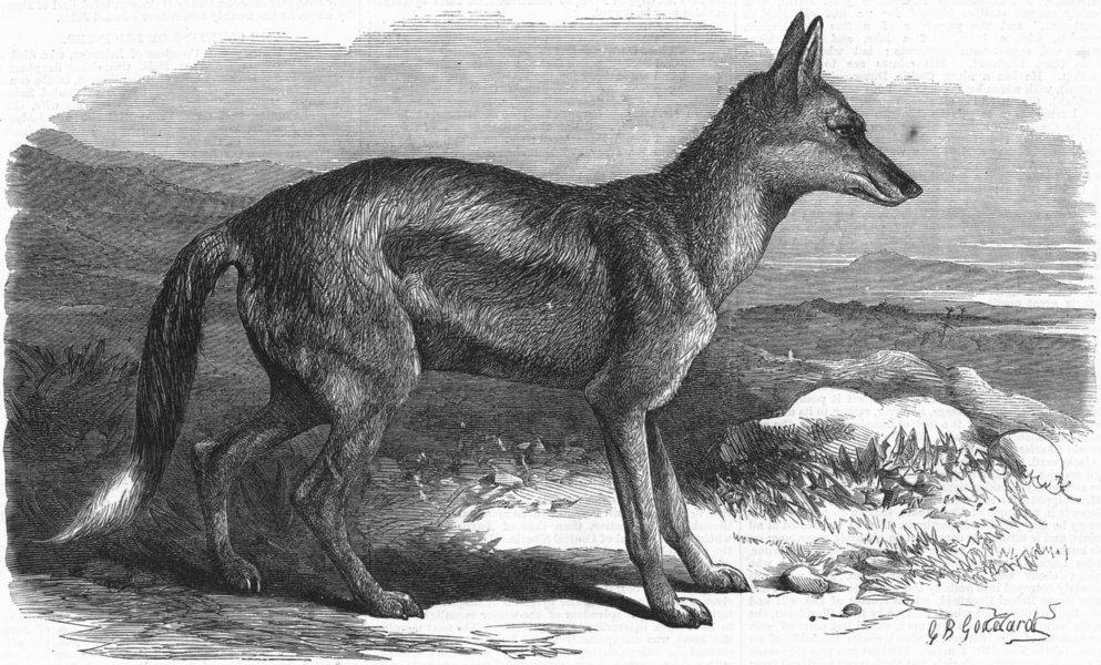 Associate Product LONDON. Side-striped jackal, zoo, antique print, 1870
