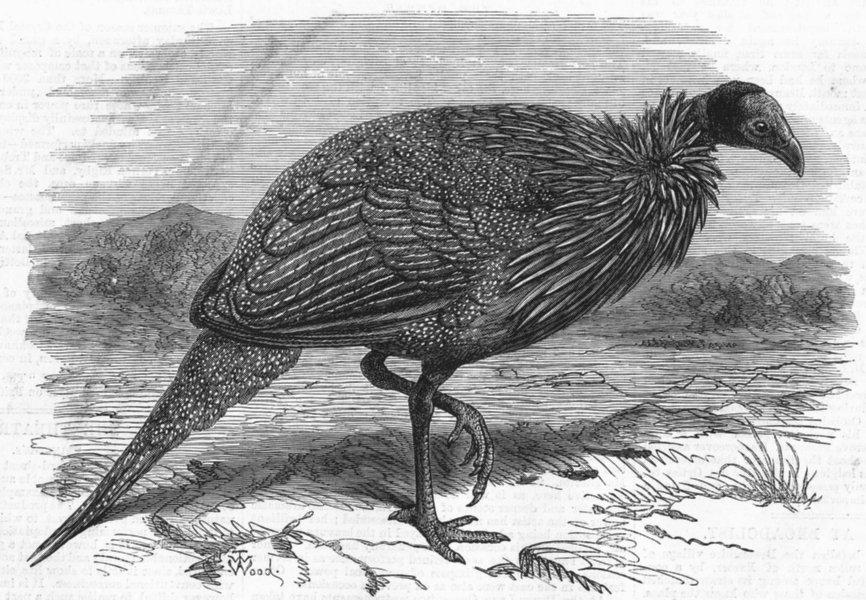 Associate Product LONDON. Vulturine Guinea-Fowl, zoo, antique print, 1870