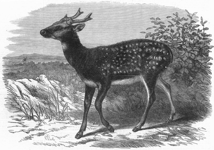 Associate Product LONDON. Prince Alfred's stag, from Singapore, zoo, antique print, 1870