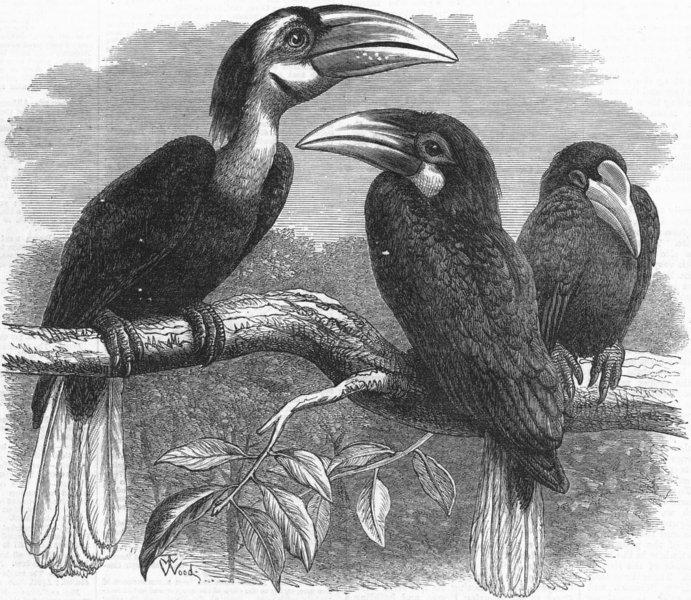 Associate Product LONDON. Zoo. Hornbills, antique print, 1870