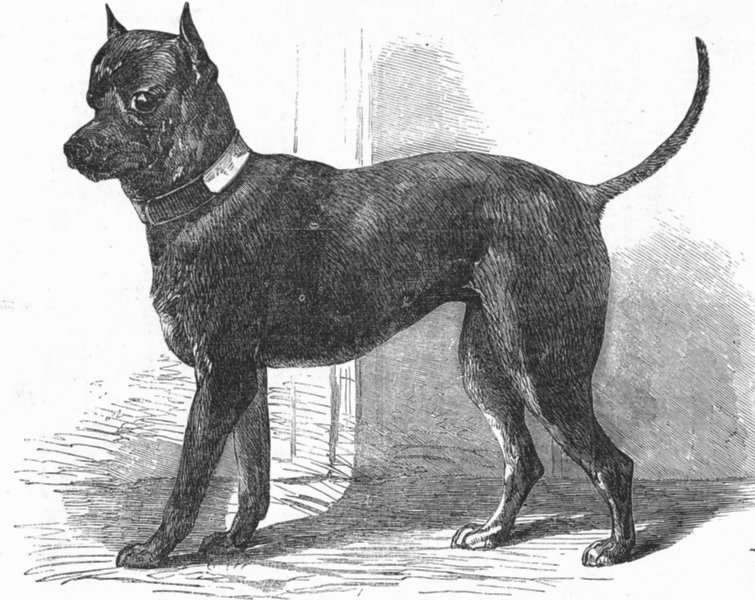 Associate Product DOGS. Terrier(Life-)Great Exhibition, antique print, 1851