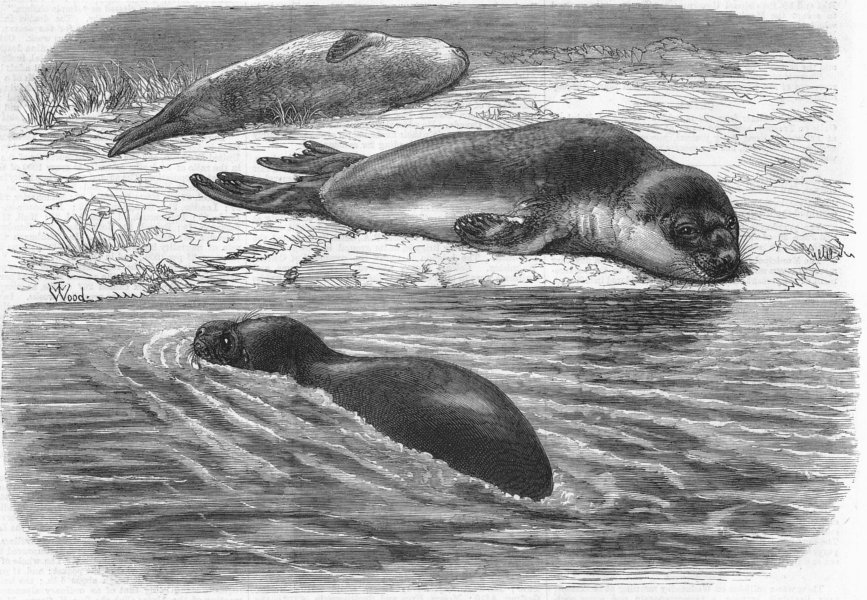 Associate Product LONDON. Bladder-nosed seals, zoo, antique print, 1870