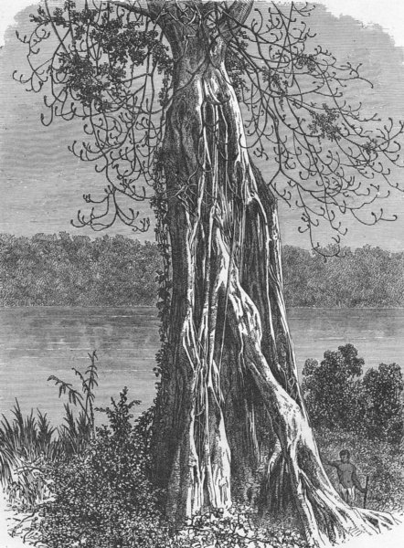 Associate Product GABON. Trunk of Ovounchua, species Ficus 1880 old antique print picture