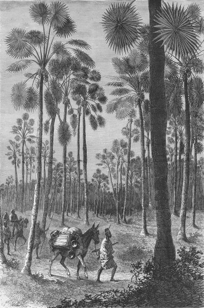 Associate Product MALI. Forest of Fan-leaved Palms 1880 old antique vintage print picture