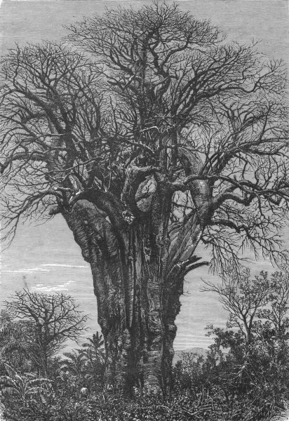 Associate Product PERU. Lima and the Andes. The Baobab 1880 old antique vintage print picture