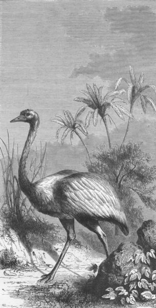 Associate Product BIRDS. South America. American Ostrich 1880 old antique vintage print picture