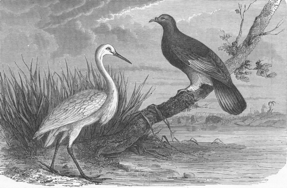 Associate Product NEW CALEDONIA. Caledonian Heron & Notu Pigeon 1880 old antique print picture