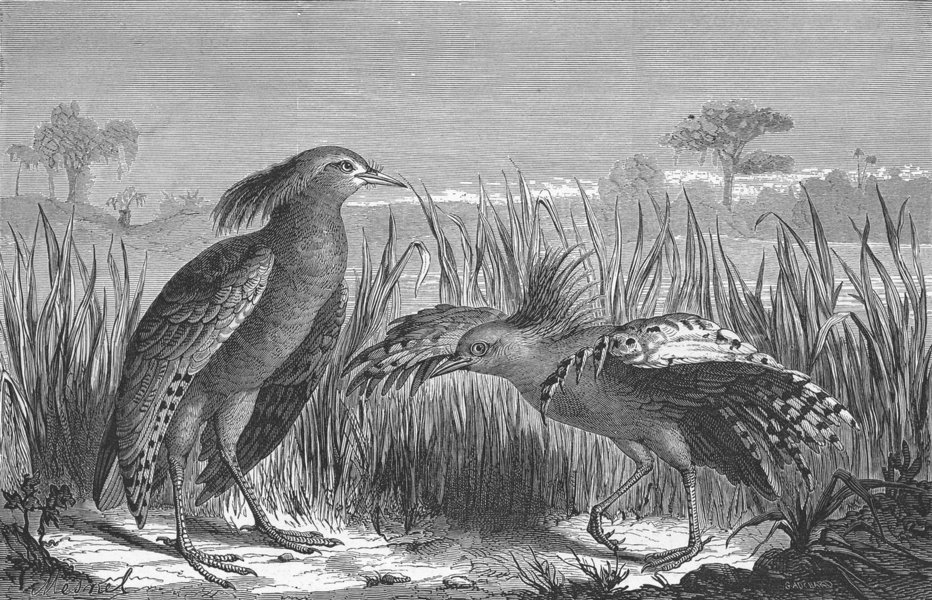 Associate Product NEW CALEDONIA. Kagou(Rhinochoetus jubatus) 1880 old antique print picture