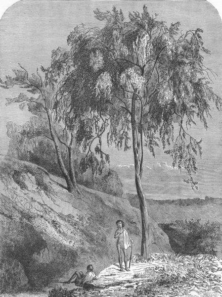 AUSTRALIA. Bush Queensland. Metrosideros Trees  1880 old antique print picture