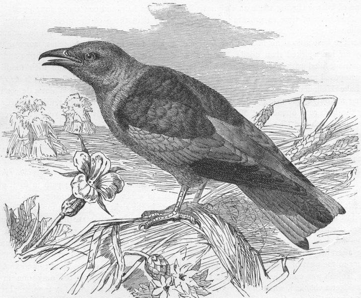 Associate Product BIRDS. North Africa. Roller(Coracias garrula) 1880 old antique print picture