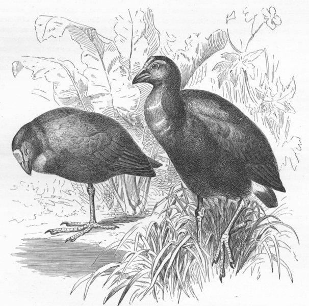 Associate Product BIRDS. Gt Purple Gallinule(Prophyrio hyacinthimus) 1880 old antique print