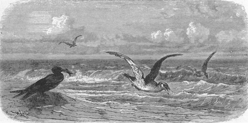 Associate Product FLORIDA. Scissor-bills in pursuit of prey 1880 old antique print picture