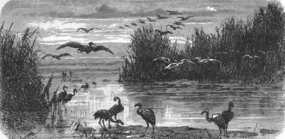 Associate Product FLORIDA. Denizens of Swamp 1880 old antique vintage print picture