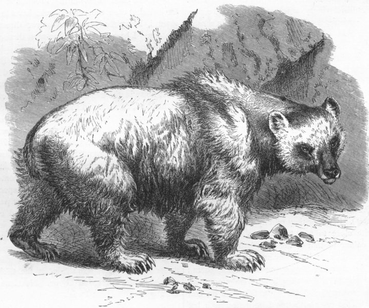 Associate Product INDIA. Naturalist, NW Provinces. Brown Bear 1880 old antique print picture