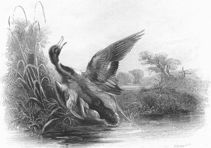 Associate Product BIRDS. The Stricken Mallard-Turner c1830 old antique vintage print picture