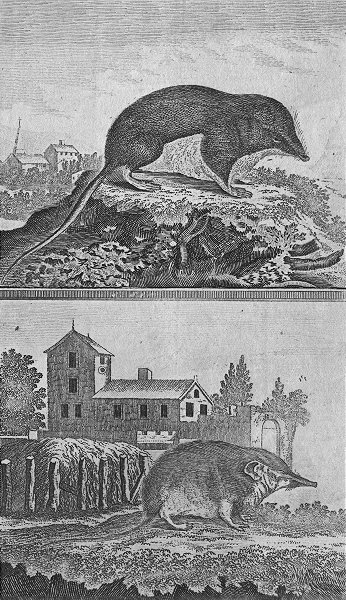 Associate Product RODENTS. The Shren mice 1800 old antique vintage print picture