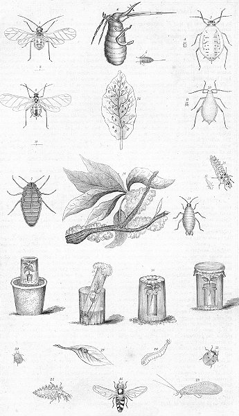 Associate Product INSECTS. Aphides(Plant Lice)& destroyers 1849 old antique print picture