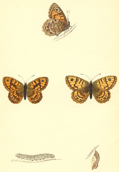 Associate Product TOWNS. Gate Keeper. butterflies PRINTS 1860 old antique vintage picture