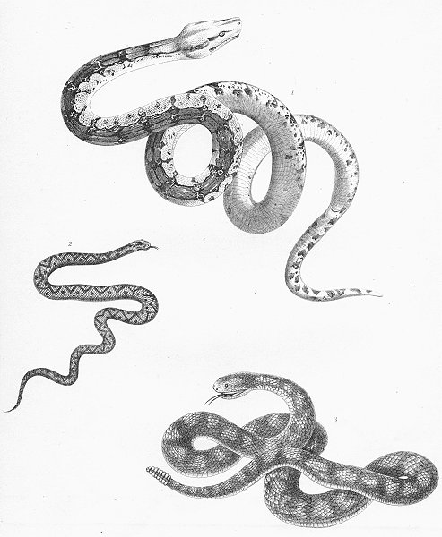 Associate Product SNAKES. Boa Constrictor; Viper; Banded Rattlesnake c1849 old antique print