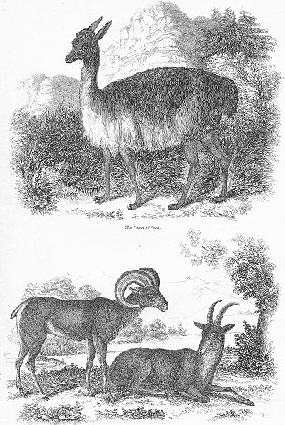 Associate Product PERU. IX Lama of & Argali. big horn Rocky Mountains c1849 old antique print