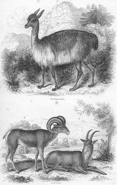 Associate Product PERU. Vieugna of; Argali Big Horn, Rocky Mountains 1849 old antique print