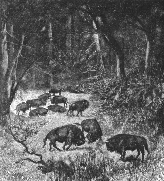 Associate Product LITHUANIA. Bisons of Bela-Veja Forest c1885 old antique vintage print picture