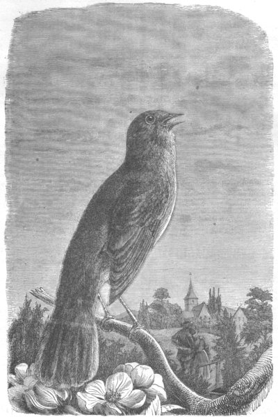 BIRDS. Rossignol 1869 old antique vintage print picture