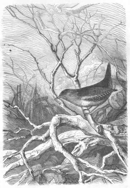 Associate Product BIRDS. Roitelet Troglodyte 1869 old antique vintage print picture