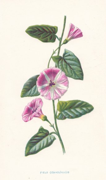 Associate Product FLOWERS. Small Bindweed or Field Convolvulus c1895 old antique print picture