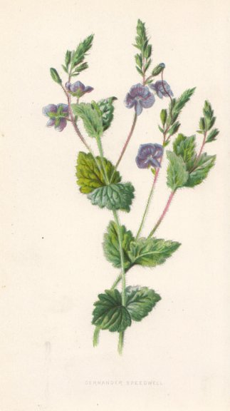 FLOWERS. Germander Speedwell c1895 old antique vintage print picture